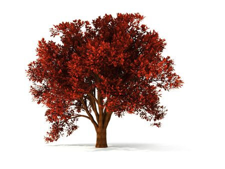 stately: isolated autumnal tree with red foliage