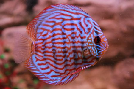tropical fish discus (Symphysodon) Stock Photo - 4729636