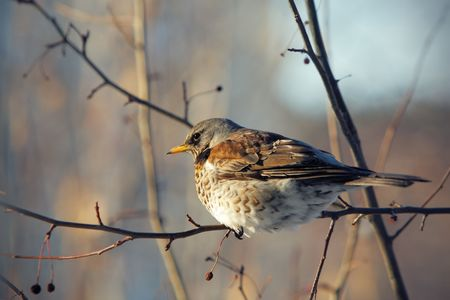 fieldfare perched on a branch, close up photo photo