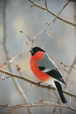 perched:  bullfinch perched on a branch, close up photo