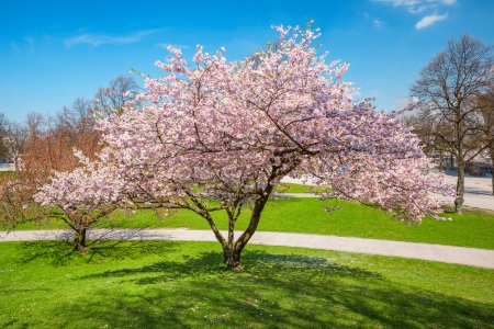 footway: blossoming apple tree in a park