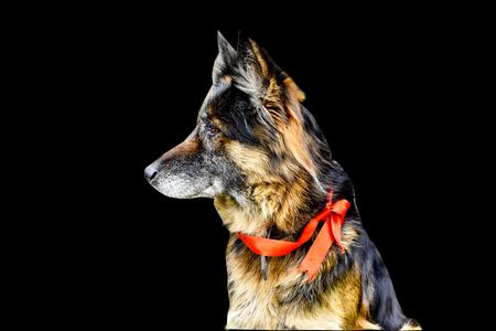 German Shepherd dog isolated background