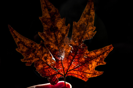 One maple leaf in reverse light, close up