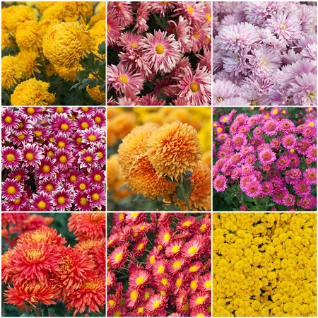 species: Collection of different species of chrysanthemums