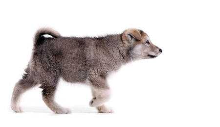 instincts: Alaskan malamute puppy in pointing stance