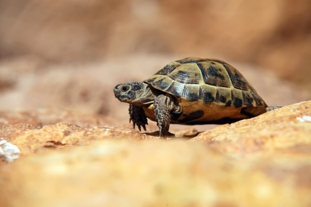 land shell: Crawling tortoise over blurred background