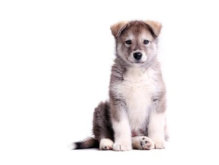 alaskian: Alaskan malamute puppy against white background