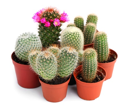 potted plant cactus: Collection of cactuses in a pot, over white background  Stock Photo