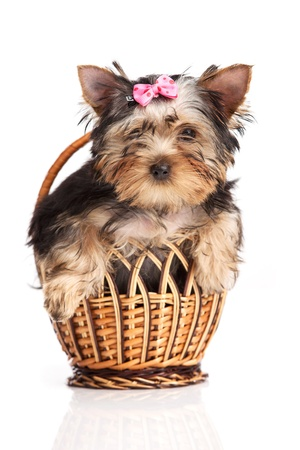 Cute yorkshire terrier puppy in a basket isolated over white  photo