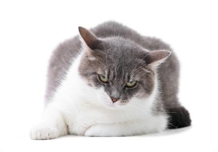 bicolor: Grey and white cat in the studio  Stock Photo