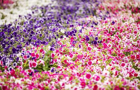 solanaceae: Petunia - perennial herb of the family Solanaceae