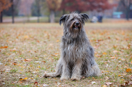 purebreed: Briard dog in autumn forest Stock Photo