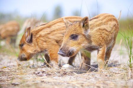 animales silvestres: Varios cerdos salvajes que se colocan en un camino Foto de archivo