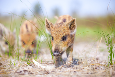 several: Several wild pigs standing on a path