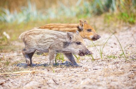 piglets: Wild piglets on a summer day