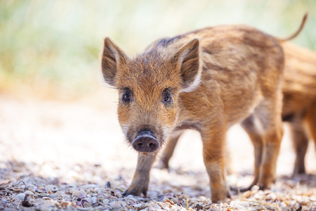 baby animal: Wild piglet standing on a path