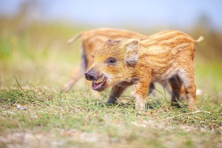 swines: Wild piglets on a summer day