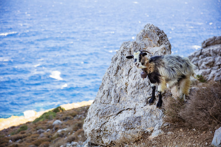 Black-and-white goat with bell standing on rock near sea