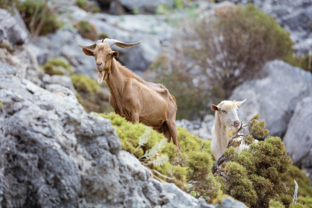 Male and female goats in mountains on coast, Kalymnos island, Greece Stock Photo