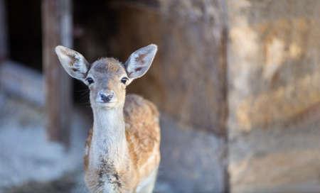 White-tailed deer fawn in zoo, baby deer in zoo