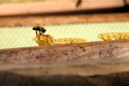 A scout bee inspecting honey comb