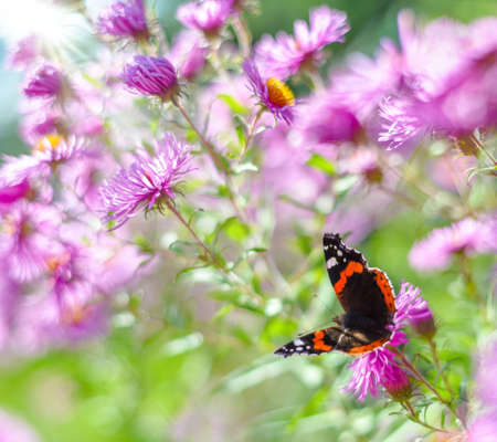 admiral: Butterfly admiral on blooming asters