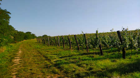 South Moravian vineyard with ripe grapes on it. It's seen from access road. Thick stacks are there to hold ropes that vine uses to grow onto. It's early Autumn and the weather is very pleasant. Stock Photo
