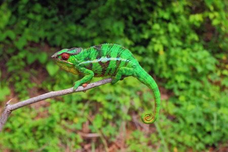 mimicry: Chameleon sitting on branch