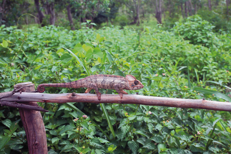 Chameleon on protection and tropical thickets. Amber Mauntin, Diego-Surez, Madagascar