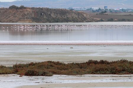 Salty lake and pink flamingos. Larnaca, Cyprus