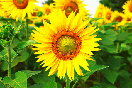 a great field with big sunflower