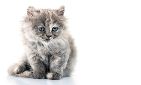 furry cat on white background