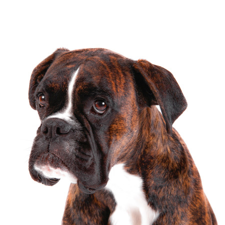 a Beautiful boxer with a sweet look on white background Archivio Fotografico - 97264592
