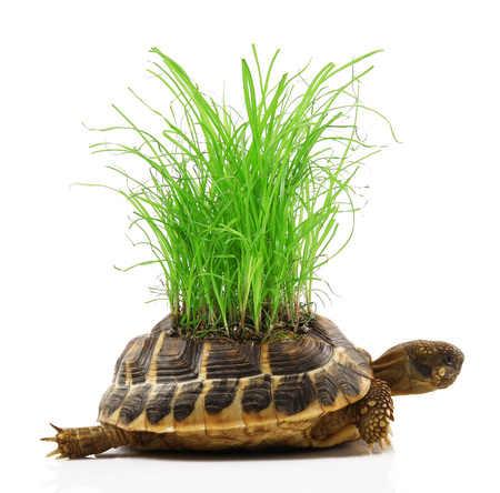 Turtle with grass on back on white background