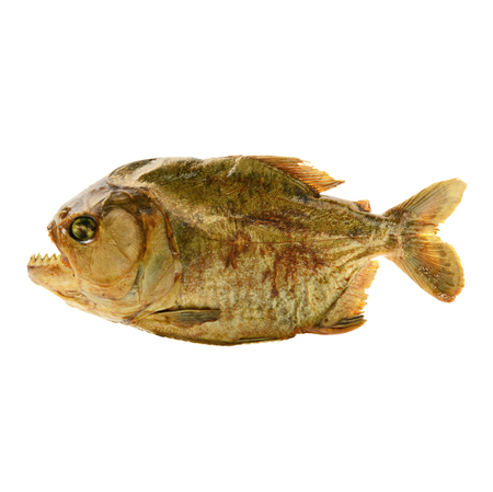 isolated embalmed piranha on white background
