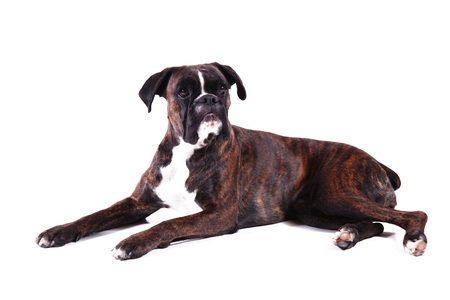 a Beautiful boxer on white background Archivio Fotografico - 97264487