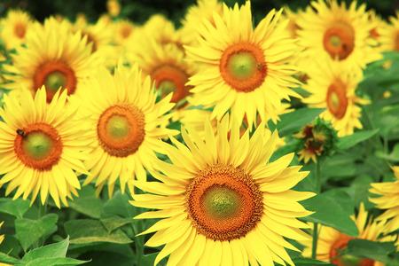 a field empty of sunflowers