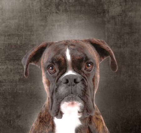 a Beautiful boxer with a sweet look on dark background Standard-Bild