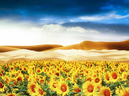 a sunflowers field in the desert
