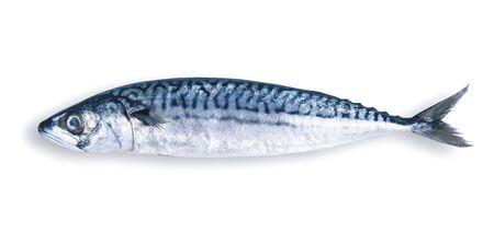 fresh mackerel on white background