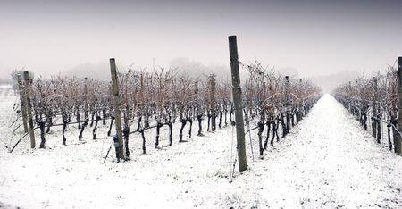 a snowy winter landscape of a vineyard Standard-Bild - 136662382