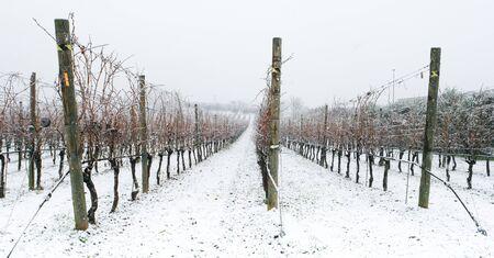 a snowy winter landscape of a vineyard Фото со стока