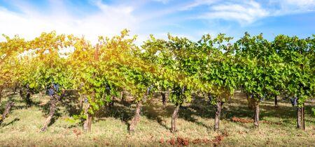 Italian vineyard for the production of wine Фото со стока