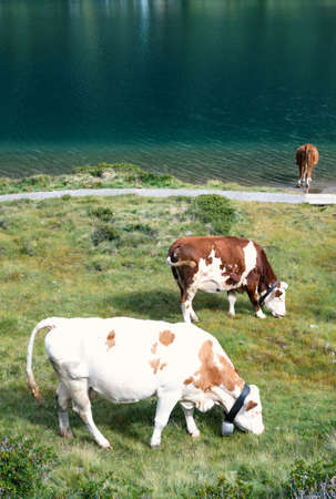 three calm cows on pasture