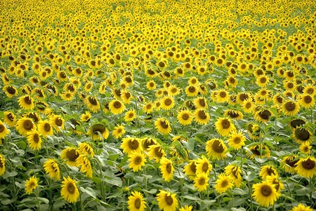 Sunflower Stock Photo - 12875008