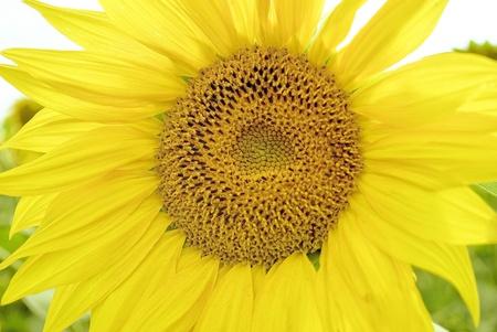 Sunflower Stock Photo - 12874887