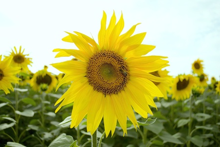 Sunflower Stock Photo - 12874857
