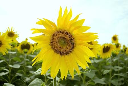 Sunflower Stock Photo - 12874857