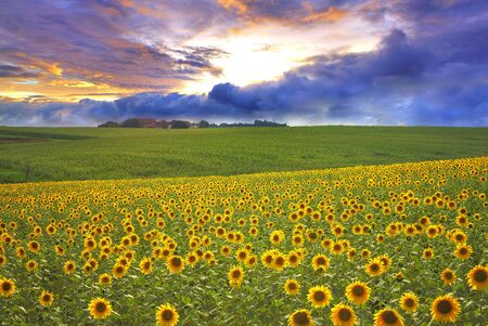 Sunflower field and storm