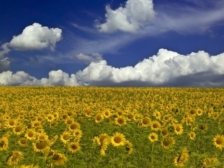 Sunflower field Stock Photo - 12874854